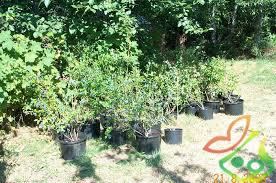 پرورش درخت بلوبری در ایران