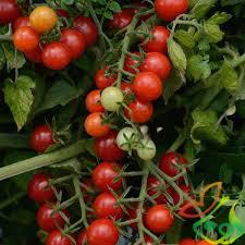 بذر انگور فرنگی