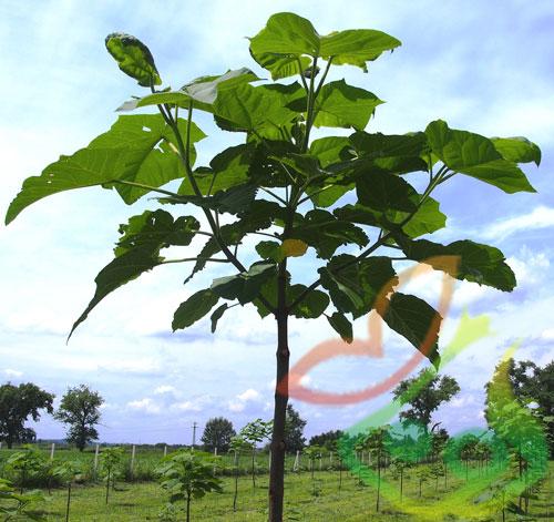 تهیه نهال درخت پالونیا