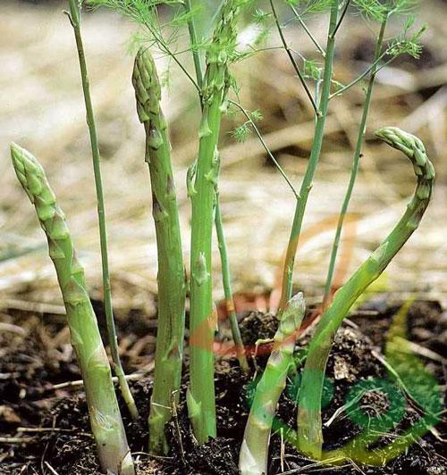 گیاه مارچوبه خوراکی