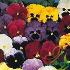 گل بنفشه اف1