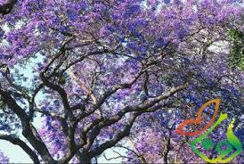 درخت زینتی
