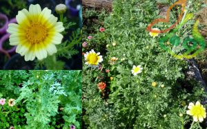انواع گل داوودی