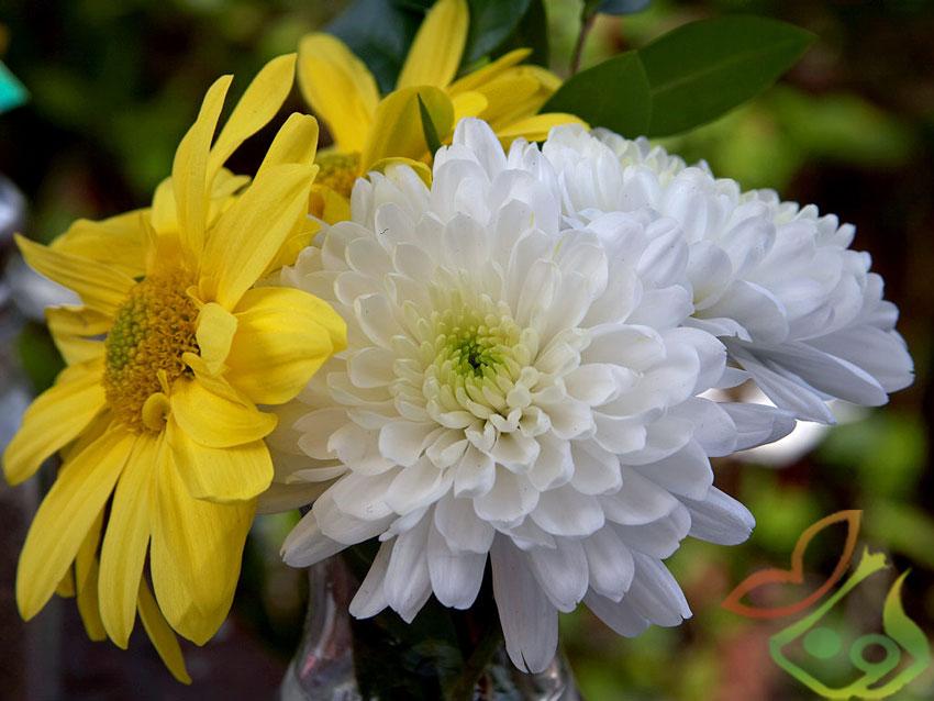 درباره گل داوودی