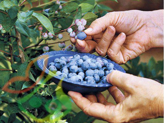 خواص میوه بلوبری