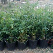 قیمت نهال گل محمدی
