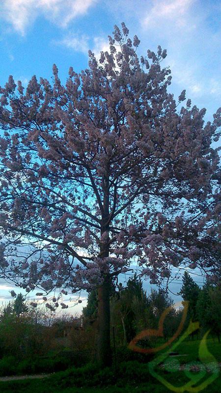 درخت زینتی پالونیا
