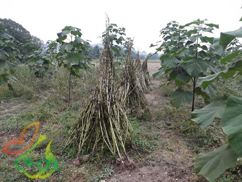 نهال درخت پالونیا