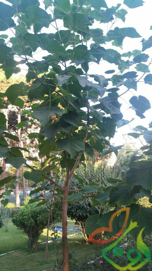 انواع نهال درخت پالونیا
