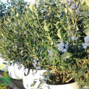 نهال میوه بلوبری