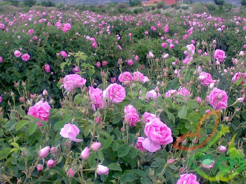 فروش نهال گل محمدی