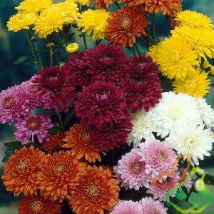 گل داوودی چیست