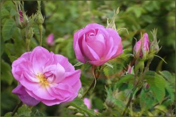 نهال گل محمدی گلاب