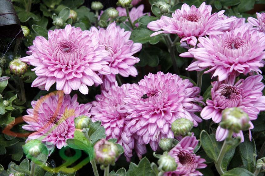 انواع بذر گل داوودی
