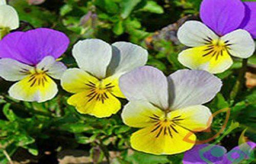 بذر گل بنفشه هلندی