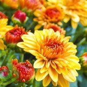 خرید بذر گل داوودی