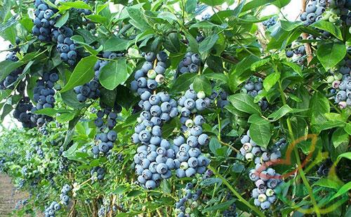 خرید نهال میوه بلوبری