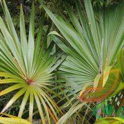 درخت نخل پالم