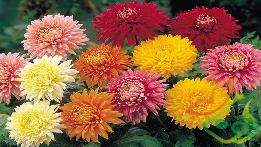 فصل گلدهی گل داوودی