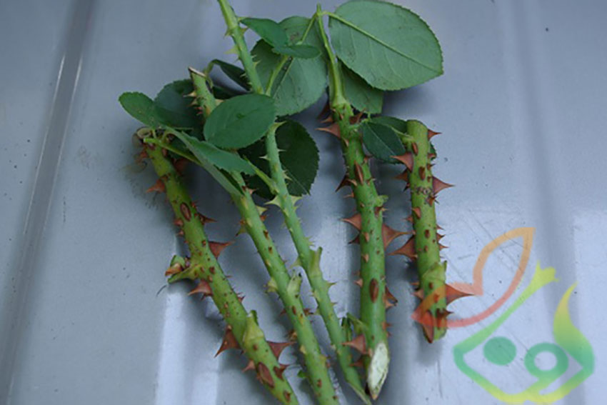 قلمه زدن گیاه گل محمدی