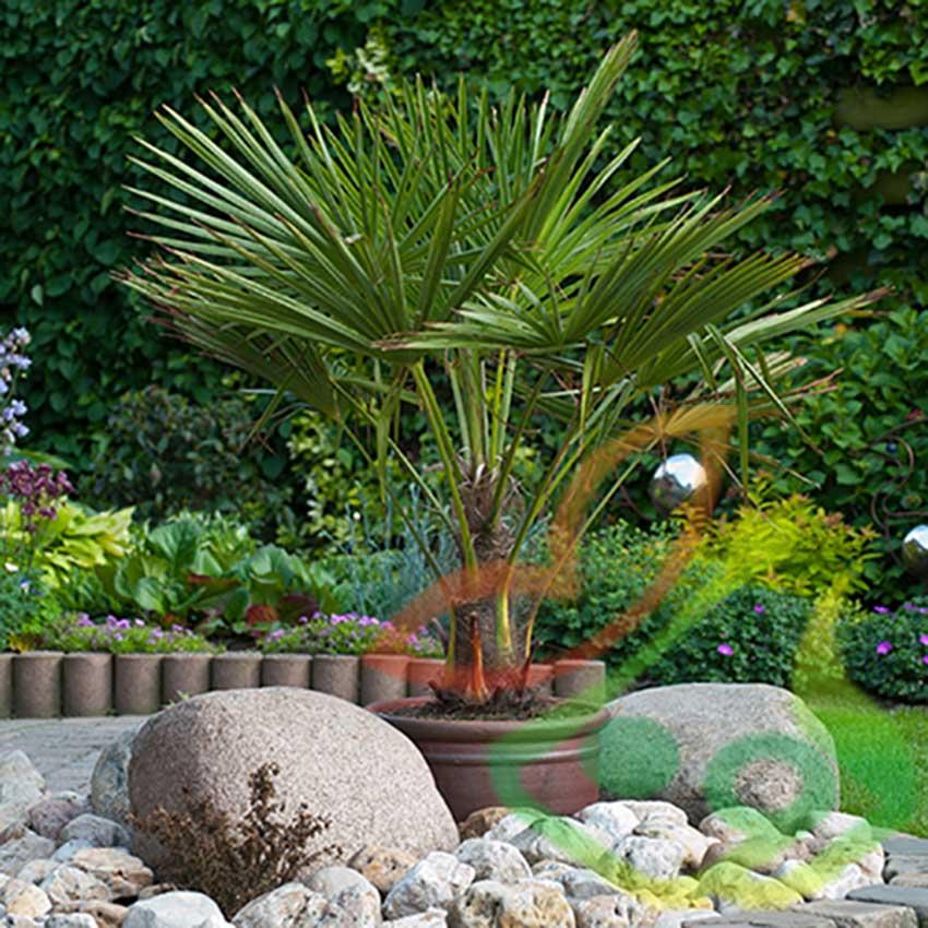 مشخصات درخت پالم