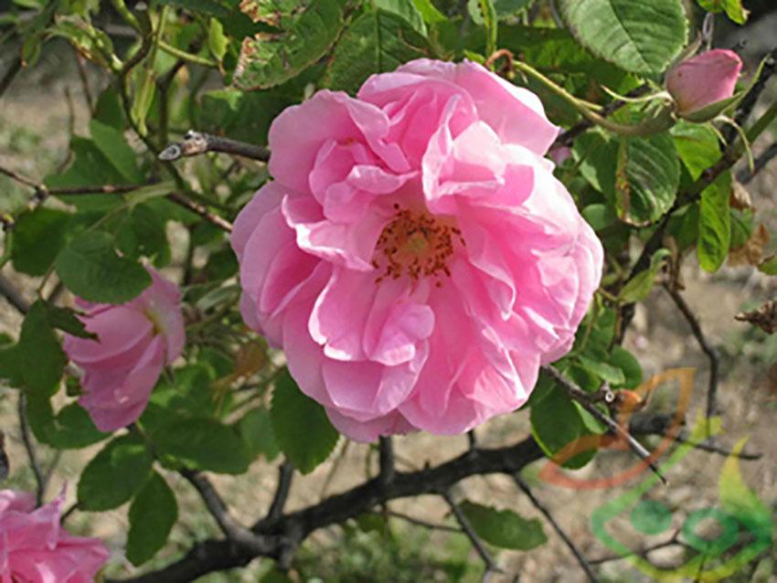 نام گل محمدی