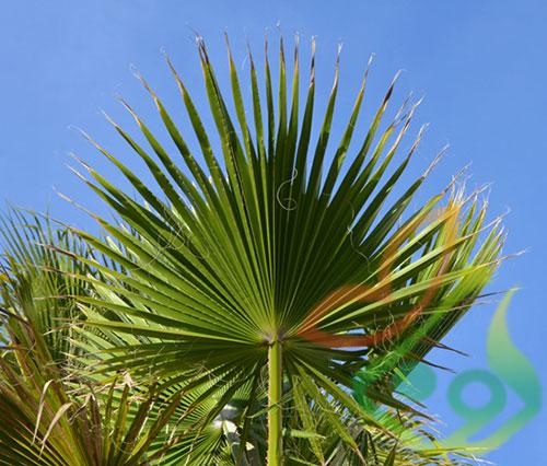 نهال درخت پالم