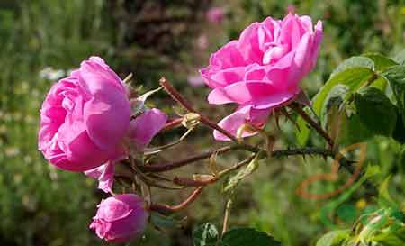 نهال ریشه دار گل محمدی
