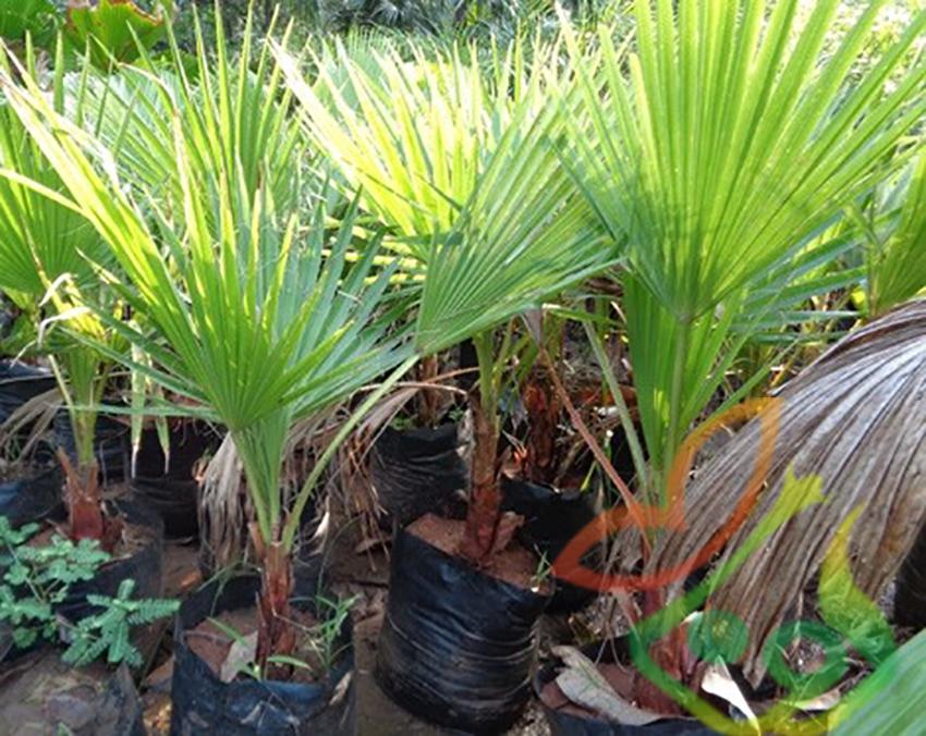 کاشت درخت نخل پالم