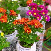 گل داوودی گلدانی