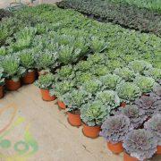 گیاه گل کلم زینتی