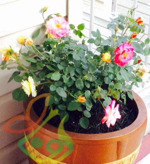 انواع گل رز هفت رنگ