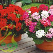 انواع گل شمعدانی