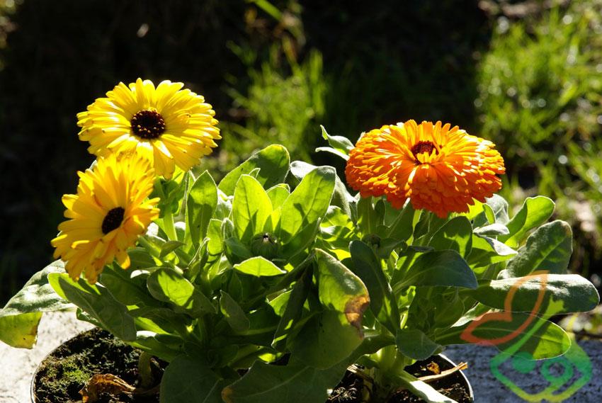 انواع گل همیشه بهار