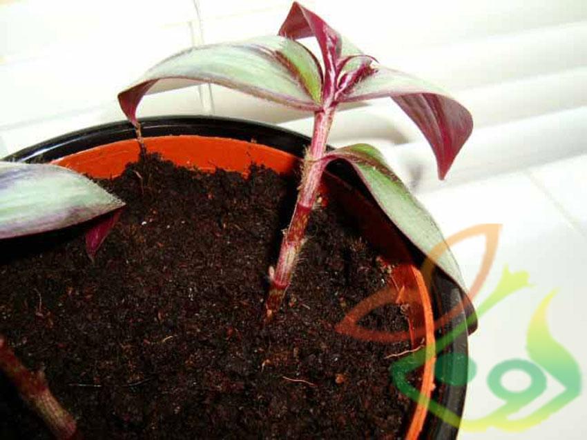 تکثیر گیاه برگ بیدی