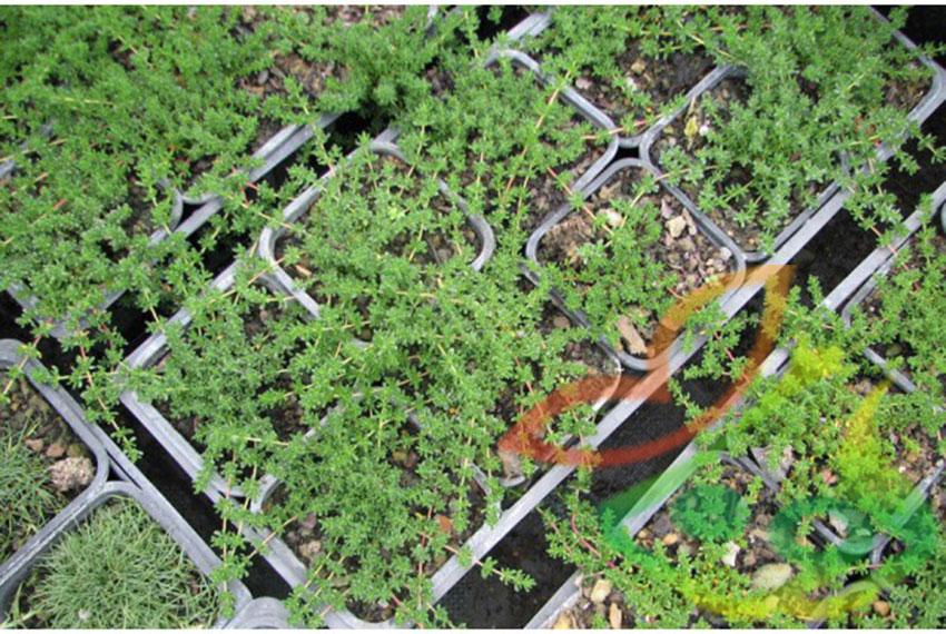 تکثیر گیاه فرانکینیا