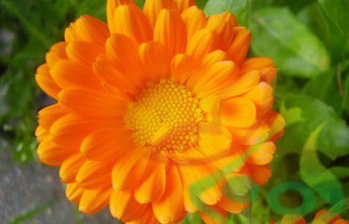 خرید بذر گل همیشه بهار