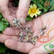 قیمت بذر گل همیشه بهار