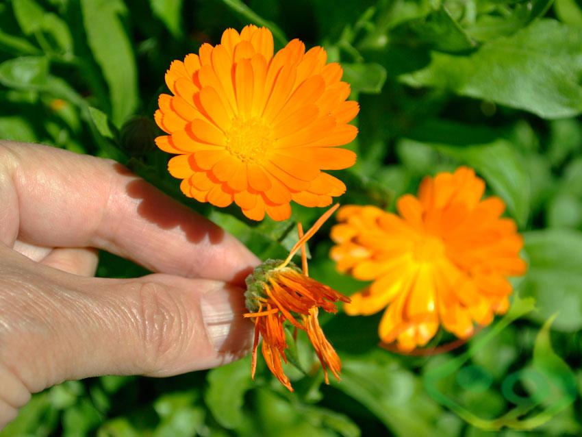 کاشت بذر گل همیشه بهار