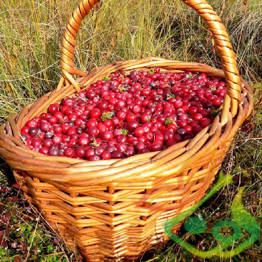 میوه درخت کرنبری