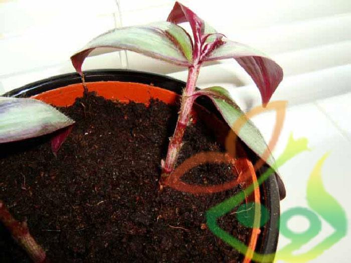 گیاه برگ بیدی