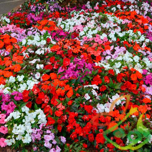 انواع گل امپیشن
