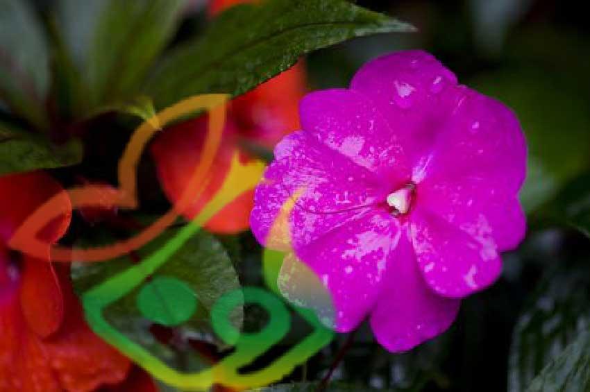 گل امپیشن