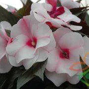 گل زینتی امپیشن