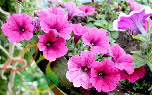 انواع گل اطلسی