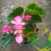 فروش گل بگونیا