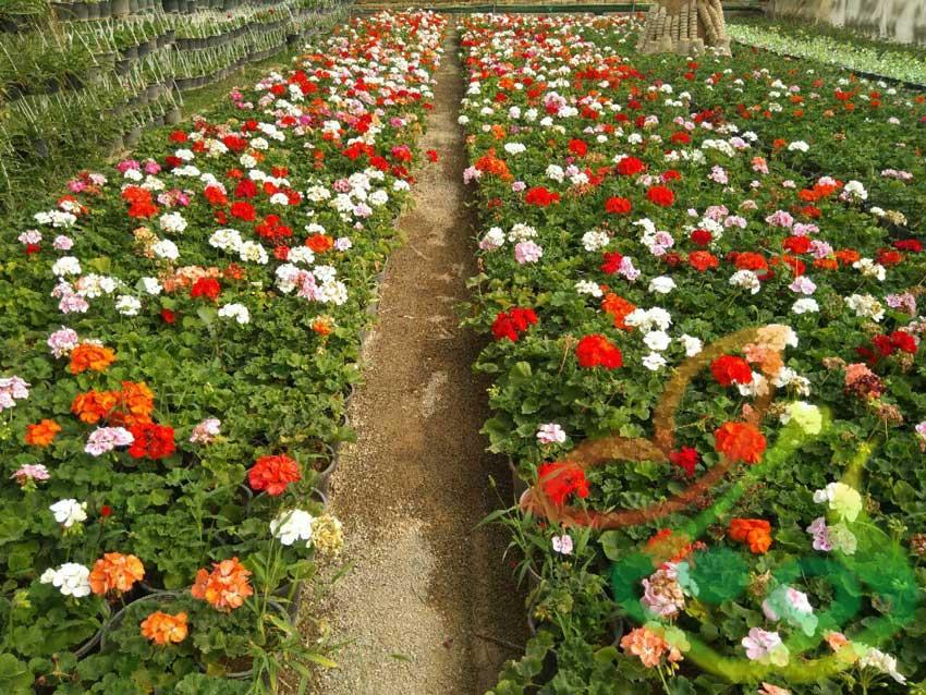قیمت گل شمعدانی