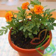 گل جعفری گلدانی