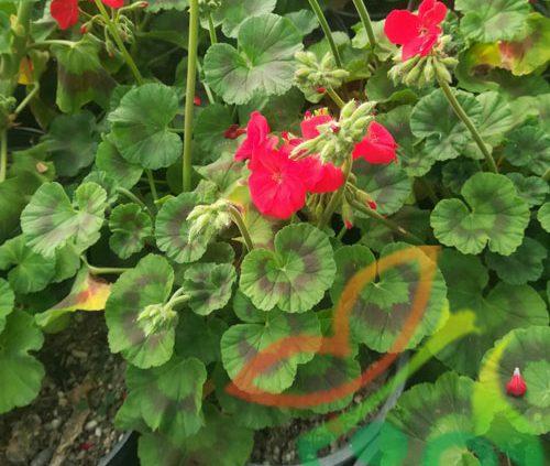 گل شمعدانی بذری