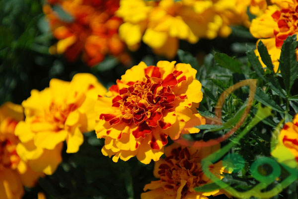 گل فصلی جعفری
